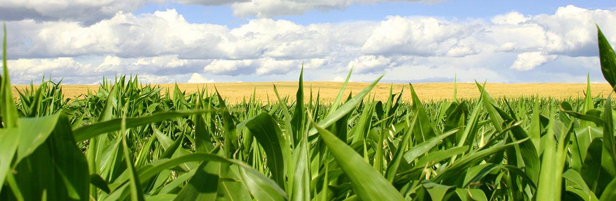 Corn under a blue sky banner photo